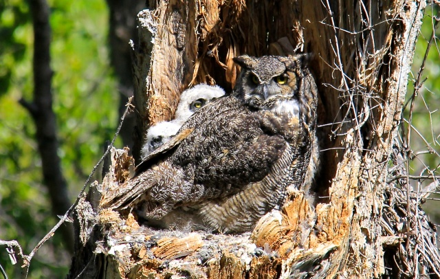 Growing Owlets